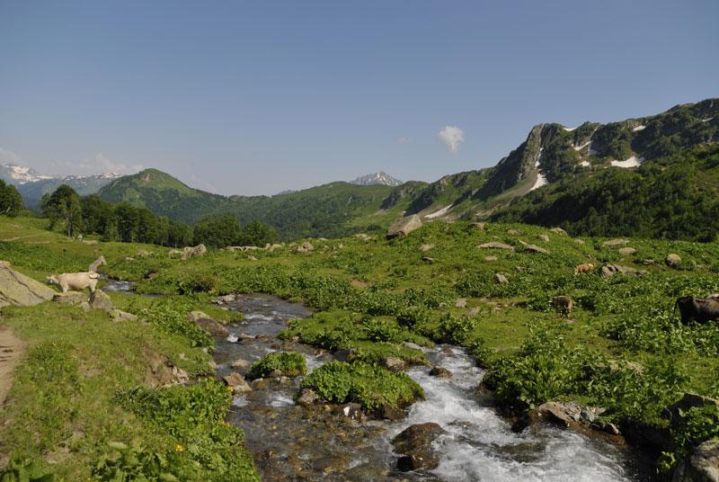 Корова на льпийских лугах Абхазии